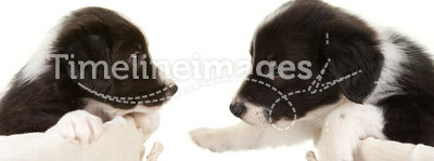 Two border collie pups