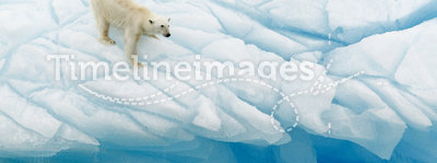Polar Bear Balancing