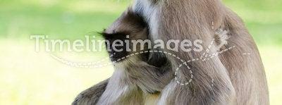 Wild monkey with baby