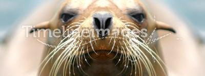 Sealion. Closeup