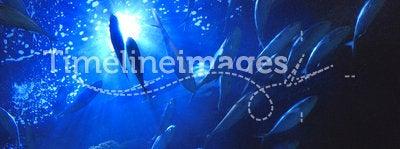 Underwater tuna