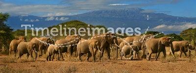 Kilimanjaro And Elephant Herd Africa Tanzania Kenya