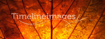 Autumn Leaf. Looking through the window of an autumn leaf, warm with golden colours, it's structure bold and strong