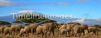 African Elephant Herd Kilimanjaro Mountain Tanzania