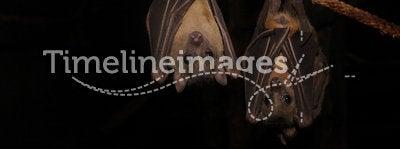 Fruit Bat (Rousettus aegyptiacus)