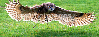 Owl Flying. Great horned owl flying over the grass