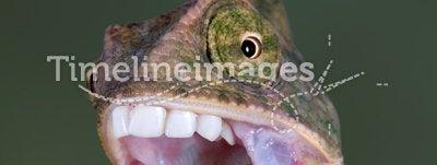 Chameleon brushing teeth
