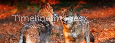 Wolf afraid in sunset