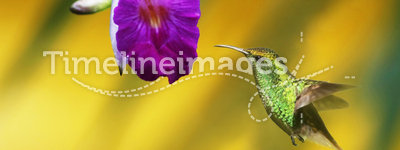 Orchid with Hummingbird