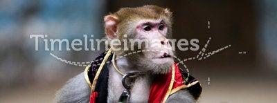 Monkey  of circus