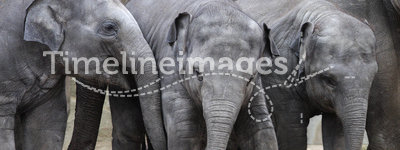 Young elephants. Three cute young elephants playing