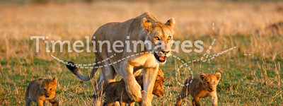 Lioness and four cubs