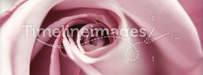 Rose close-up
