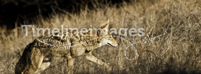 Coyote hunting in the prairie grass