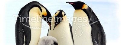Emperor penguins (Antarctic)