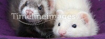 Ferret Babies