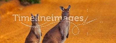 Kangaroos crossing