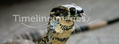 Lookin' for Food. Dragon: Taken at Mt.Nebo near Brisbane, Australia