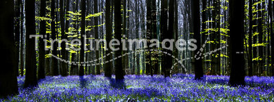 Bluebell symphony. Dark tree silhouettes and millions of bluebells